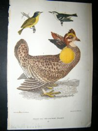 Alexander Wilson 1832 Hand Col Bird Print. Pinnated Grouse